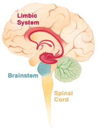 && 4 && Brain_limbicsystem